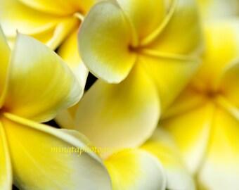 Sweet Fragrance of Yellow - Plumeria Spring yellow Wedding Hawaii tropic island Hawaiian flowers nature gift sweet Fine Art Photo Print