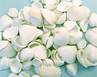 "Seashells - Sm. Ark Shells 1 cup -  1/2-3/4"" for Crafting or Decorating - sea shells beach wedding decor craft shells"