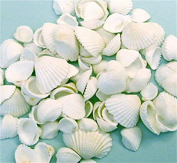 "Seashells - Sm. Ark Shells 1 cup -  1/2-3/4"" for Crafting or Decorating - sea shells beach wedding decor craft shells"