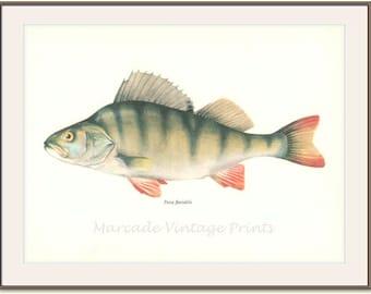 Perch, American, European, 8 x 10, Vintage Fish Print, 1970, (121) Fresh Water, Jiri Maly, Ichthyology,