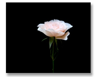 Modern Rose Photograph, Rose on Black Background, Minimal Flower Print, Pink Rose Photo, Dramatic Rose Photography 8x10
