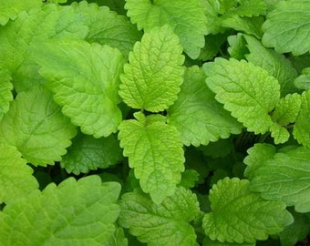 Lemon Balm Seeds (Melissa Officinalis) - Untreated and Non-GMO