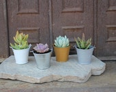 "25 DIY Rosette ONLY  Succulents in 2"" containers with 25 Adorable Pail-Your Choice of Color- Party FAVOR Kit succulent gifts*"