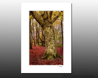Fall Tree Matted Print, Autumn Photography,Red Leaves, Ready for Framing, Fits any 5x7 Frame, Vibrant Fall Colors
