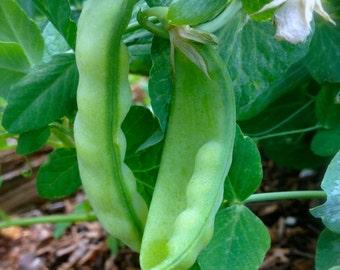 Sweetest Heirloom Peas Oregon Sugar Pod Grown to Organic Standards