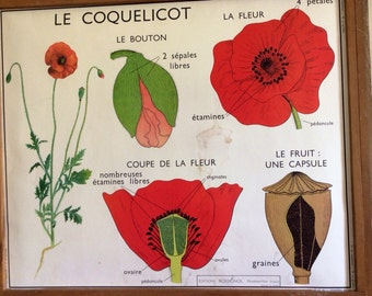 Shabby chic Stunning French School Poster of The Poppy And on the reverse side a Wallflower