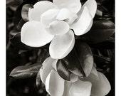 Sex and Death, Magnolia Grandiflora #3839 June, 2014