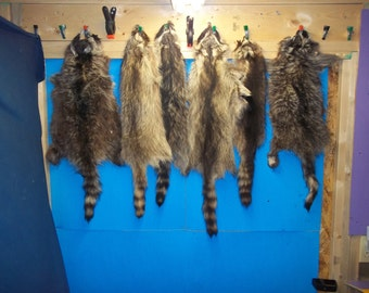 1 Tanned Raccoon Fur hide Pelt real animal skin taxidermy rug part piece man cave craft
