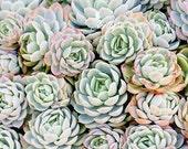 Succulents Photography- Echevaria, Mint Green Blue Pink, Nature Photography, Botanical Print, Succulent Wall Art, 8x10 Fine Art Print
