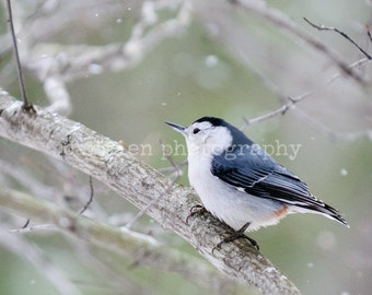 Nuthatch In The Snow nature photography photo print fine art wall art