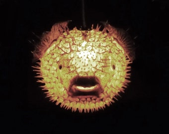 "BIG 14"" Hanging Puffer Fish Light Real Blowfish Lamp Taxidermy Animal Pendant Lighting Tiki Bar Nautical Decor LIghting"