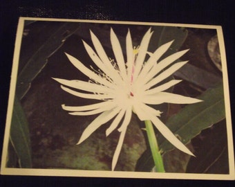 Night Blooming Cereus Flower 4 1/2 X 5 1/2 Note Cards