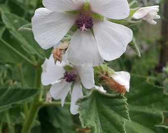 Marshmallow Seeds -  Althea officinalis -- Medicinal Herb