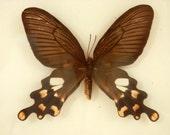 Swallowtail Butterfly or Moth Framed Specimen