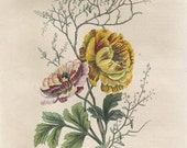 Antique Botanical Print/Engraving with original hand-coloring, by Guérin-Méneville, from Histoire Naturelle, 1834 - Ranunculus