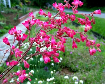 Heuchera, Coral Bells, 500 seeds, easy ground cover, bulk seeds, shade drought tolerant wildflower, all zones, pretty foliage year round