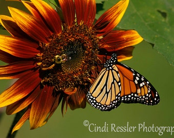 Monarch on Sunflower, Fine Art Photography, Flower Photography, Butterfly Photography, Nature Photography