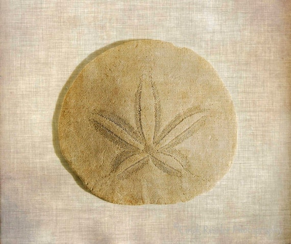 Sand Dollar, Photography, Seashells, Beach, Nautical, Nature, Still Life Photography