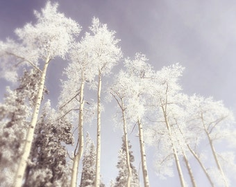 Trees, Aspens in winter, Wall Print, Snow covered, white, blue sky, mountain photograph
