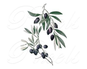 OLIVES, Olea Europea, Instant Download, digital clipart, olive branch, olives clipart, JPG and PNG, botanical illustration no.410