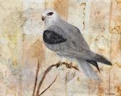 White-tailed Kite Painting, Falcon Art, Bird Painting, Bird Art Print, Wildlife Painting,Bird Illustration Bird Wall Art Animal Art Print,