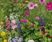 Cottage Garden Mix, Cover a Large Area, Attracts Butterflies, Annual and Perennial Mix, 50 Seeds