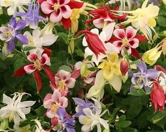 Columbine Seeds Mrs Scott Elliott Mix, Assorted Flowers, Perennial, 20 Seeds