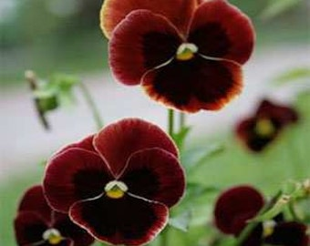 Heirloom Alpenglow Pansy, Deep Cherry Red, Flower Bed, Swiss Giant, 20 Seeds