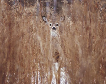 White-tailed Deer Fine Art Print/Poster