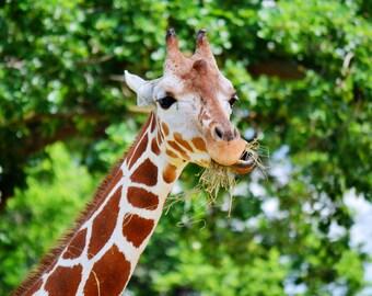 Giraffe   Photography Print