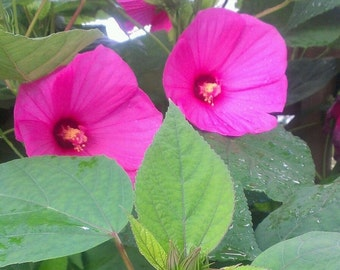 WILD PINK MALLOW seeds / beautiful blooms / very hardy perennial