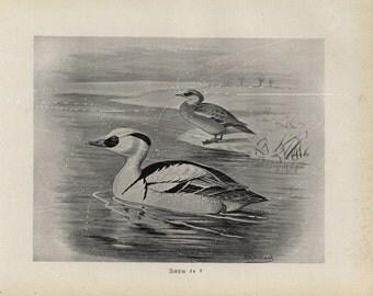 Antique Original Bird  Lithograph - Smew - Black and White Print  dated 1890