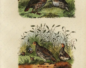 Antique Original  Natural History Hand Colored Print Of Brids Perdrix - Grise  Gorgeous from HISTOIRE NATURELLE