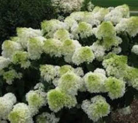 phantom hydrangea paniculata plants 4 by newlifenurserydotnet. Black Bedroom Furniture Sets. Home Design Ideas