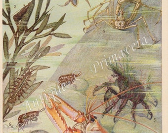 1922 Crabs and Crustaceans - Lobster, Shrimp, Sand Hopper and other Sea Life Original Antique Chromolithograph