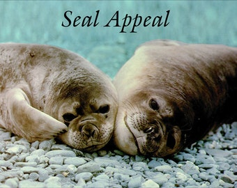 Seal Appeal  Fridge Magnet 7cm by 4.5cm,