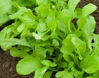 Organic Arugula Seeds *Roquette*~Mycorrhizae Fortified/Bulk Available~