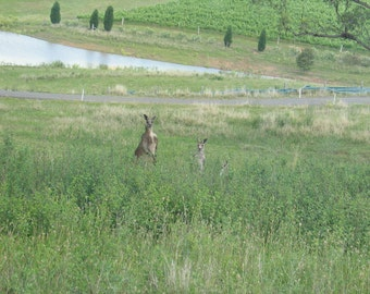 Kangaroo in Sydney - Australia.