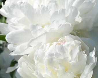 "Digital File Garden Peony (Paeonia)  ""Festiva Maxima' Flower Card"
