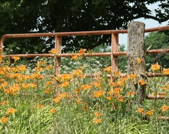 Wild Lilies along Rusty Fence Print