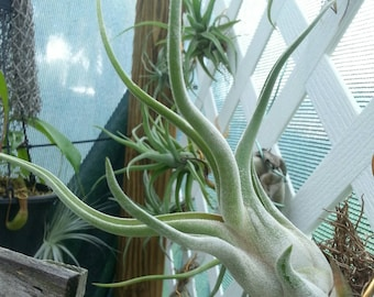 Airplant caput-medusae Large Tillandsia houseplant