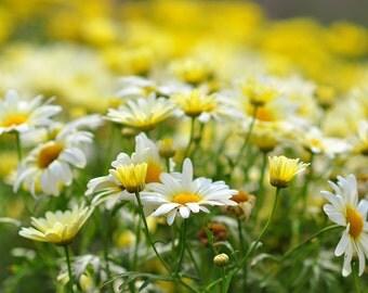 Flower Photography, daisy photo, flower photograph, flower decor, spring decor, yellow decor, yellow wall art, nursery decor