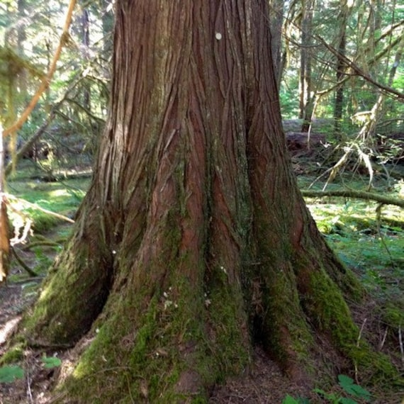 Red Cedar Tree ~ Western red cedar tree seeds thuja plicata