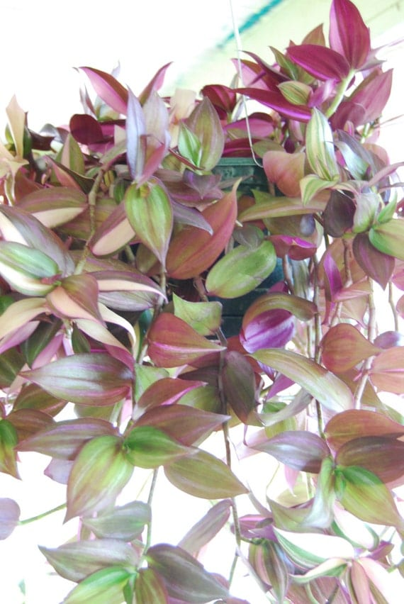 Lot Of 3 Types Of Pretty Purple Wandering Jew Sailor