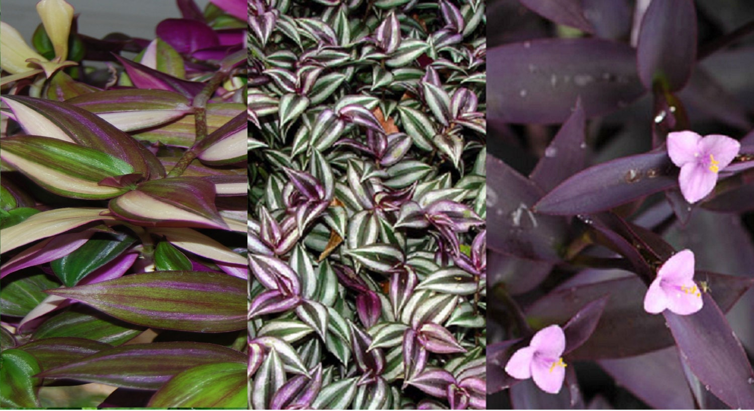 Lot of 3 types of pretty purple wandering jew sailor - Wandering jew plant name ...