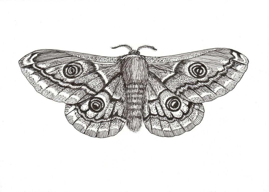 Moth drawing - photo#27