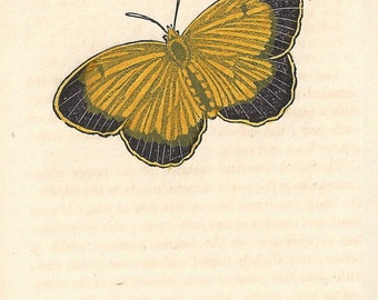 The Nicippe Butterfly (USA). Antique engraving with original hand-colouring, circa 1832