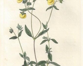 White-leaved Slipperwort - native of South America, botanical engraving 1834