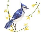 Bluejay Watercolor Illustration