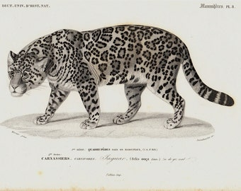 1849 Amazing antique JAGUAR print